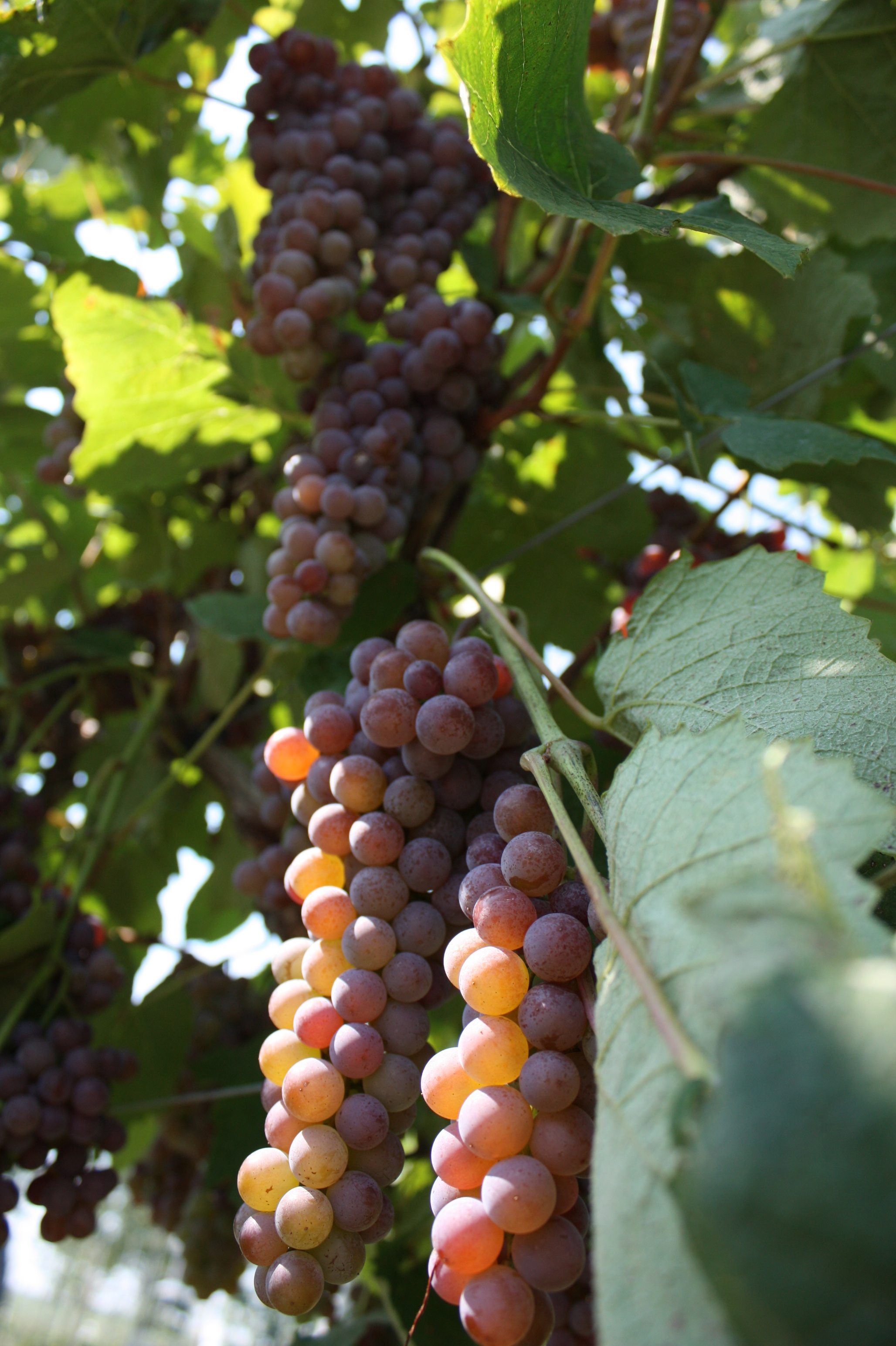 Pin by mohd adnan mahmood on grapes on vines pinterest for Table grapes