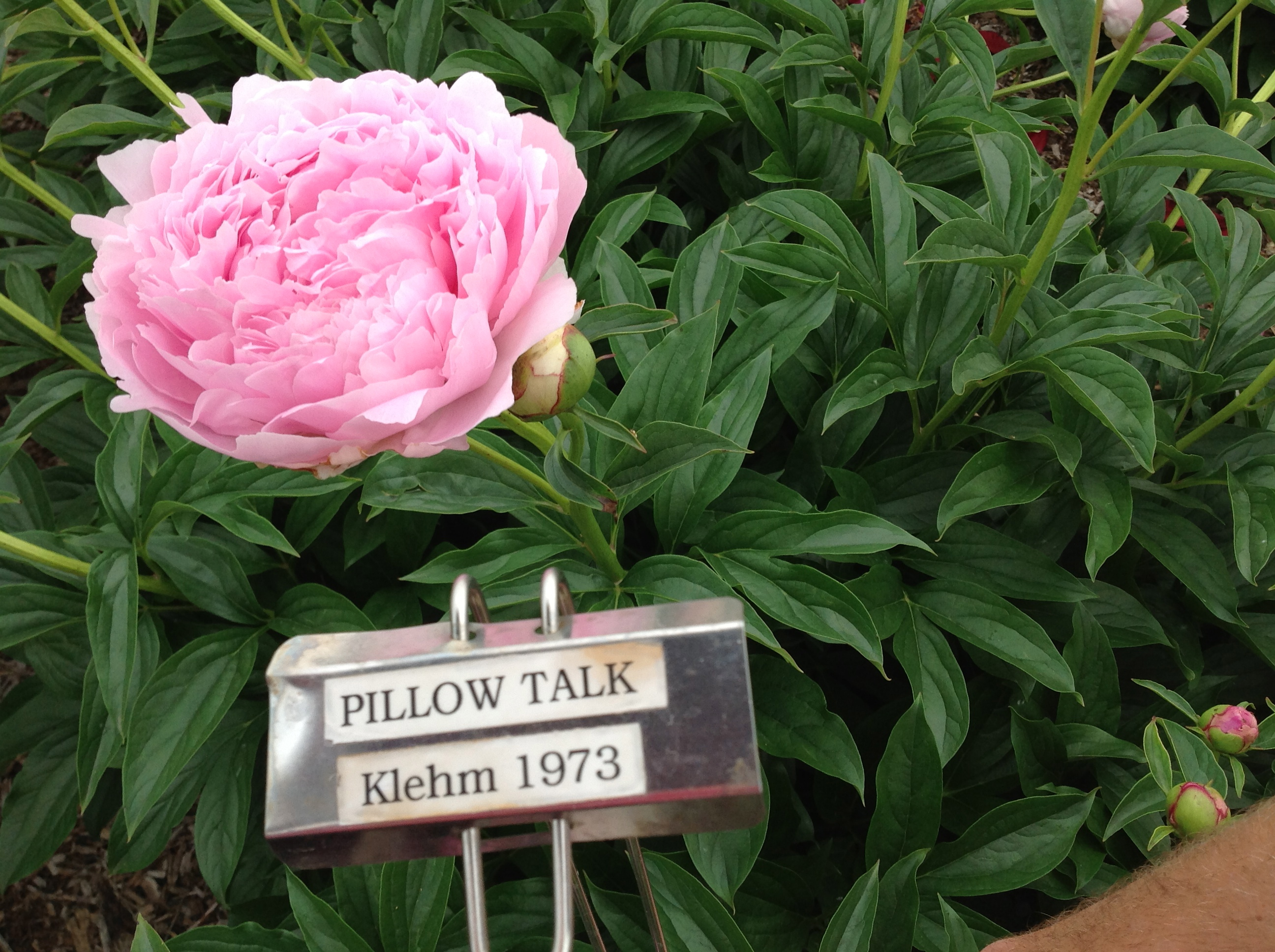 Peonies in Bloom Continued\u2026 | West Madison Agricultural Research ...